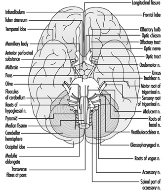 Diagram Of Brain And Cranial Nerves on system diagramming